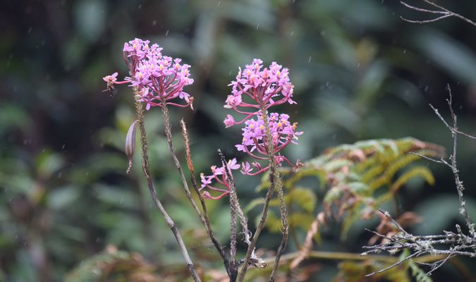 Orchidées du Sud-Est de L'Équateur (juillet-Aout 2021) Dsc_0076