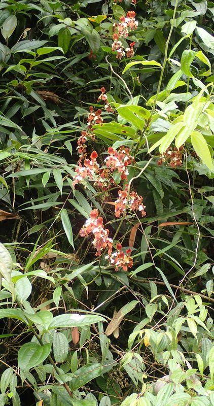 Orchidées du Sud-Est de L'Équateur (juillet-Aout 2021) Dsc_0077