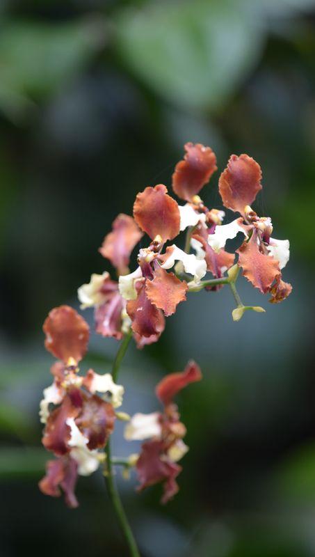 Orchidées du Sud-Est de L'Équateur (juillet-Aout 2021) Dsc_0078