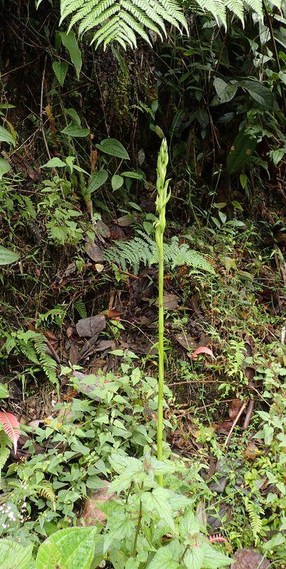 Orchidées du Sud-Est de L'Équateur (juillet-Aout 2021) Dsc_0080