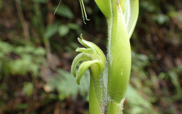 Orchidées du Sud-Est de L'Équateur (juillet-Aout 2021) Dsc_0082