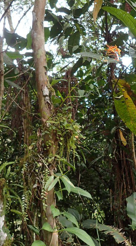 Orchidées du Sud-Est de L'Équateur (juillet-Aout 2021) Dsc_0088
