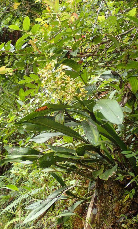 Orchidées du Sud-Est de L'Équateur (juillet-Aout 2021) Dsc_0089