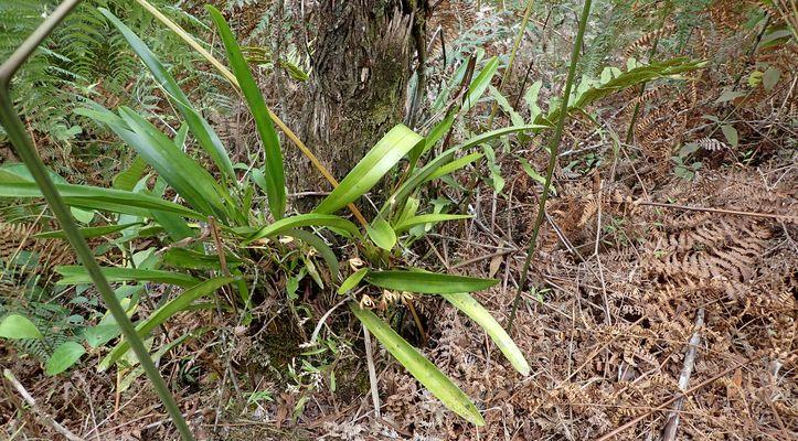 Orchidées du Sud-Est de L'Équateur (juillet-Aout 2021) Dsc_0095