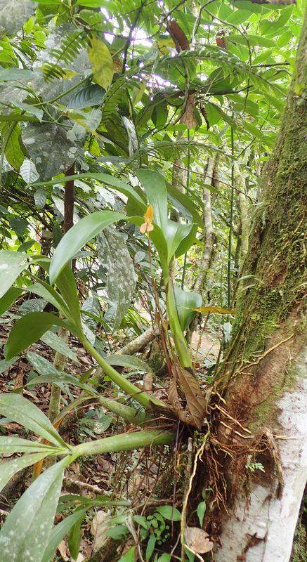 Orchidées du Sud-Est de L'Équateur (juillet-Aout 2021) Dsc_0101