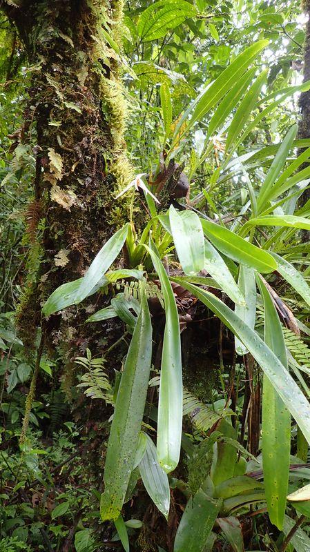 Orchidées du Sud-Est de L'Équateur (juillet-Aout 2021) Dsc_0106