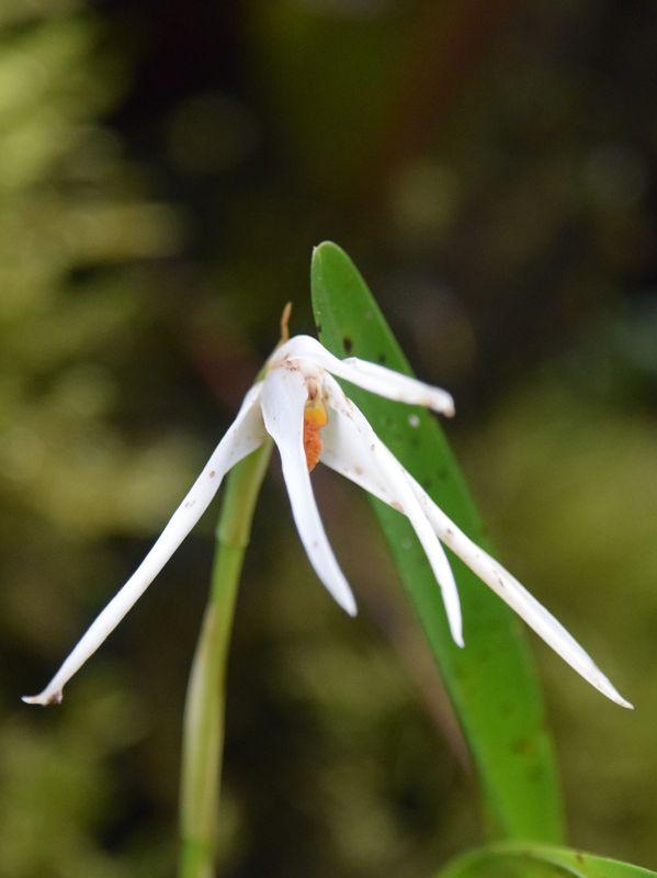 Orchidées du Sud-Est de L'Équateur (juillet-Aout 2021) Dsc_0107