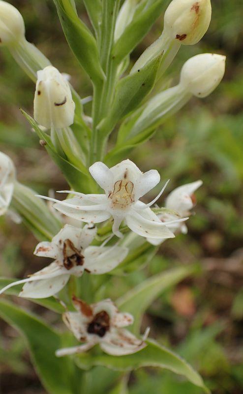 Orchidées du Sud-Est de L'Équateur (juillet-Aout 2021) Dsc_0133