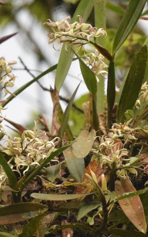Orchidées du Sud-Est de L'Équateur (juillet-Aout 2021) Dsc_0290