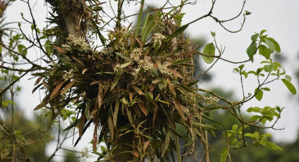 Orchidées du Sud-Est de L'Équateur (juillet-Aout 2021) Dsc_0292