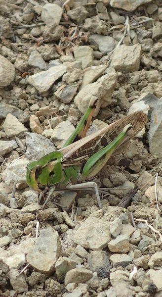 Sicile Nord-Est Nebrodi et Etna (15, 16 et 17/04/2019) Locust10