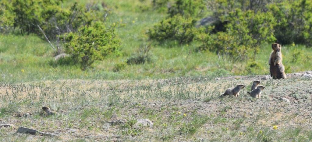 Flore et Faune de Mongolie mai 2018 ... - Page 3 Marmot11
