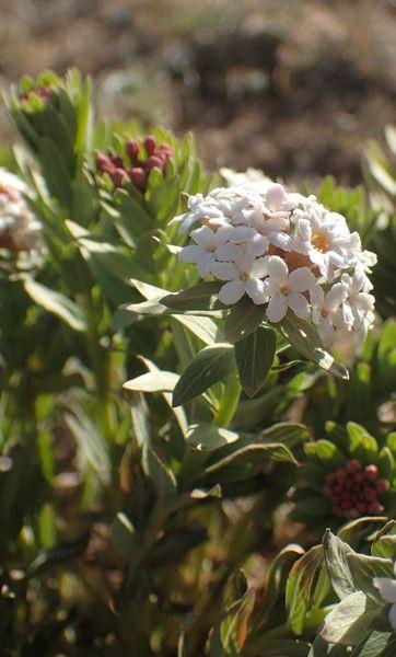 Flore et Faune de Mongolie mai 2018 ... - Page 3 Thymzo10