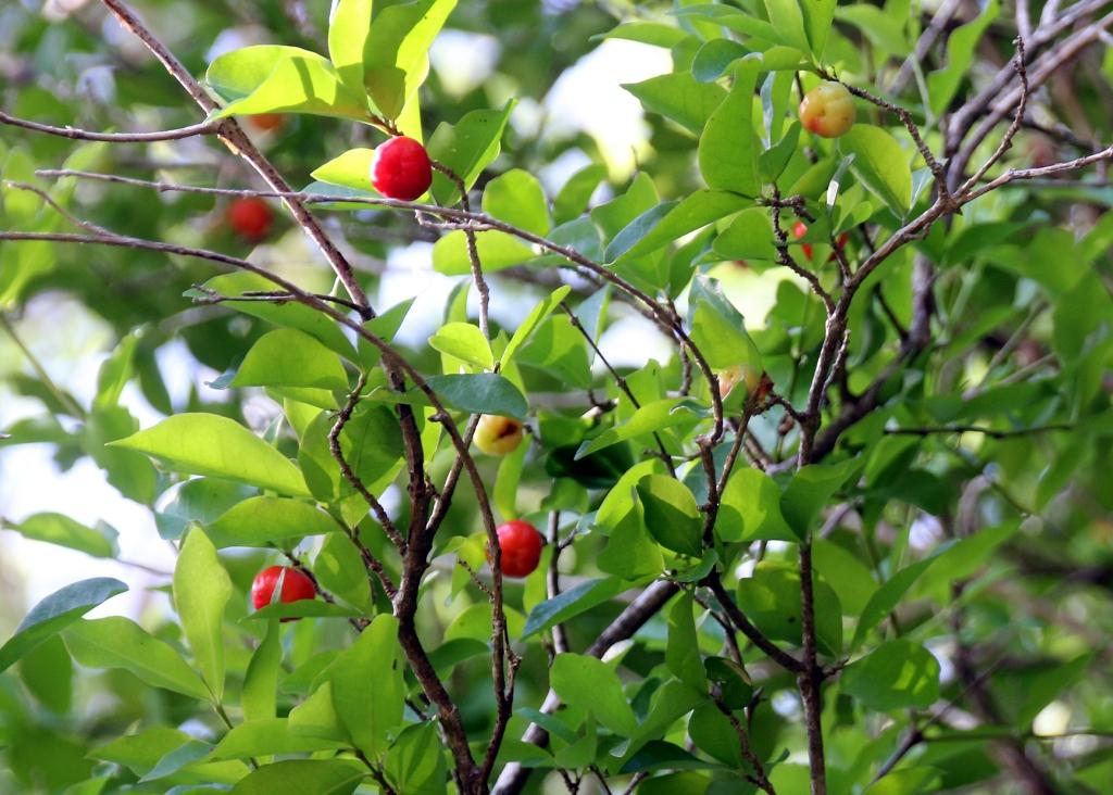 cerise pays (des pitis fruits rouges ... devinette trouvée ) Devine35