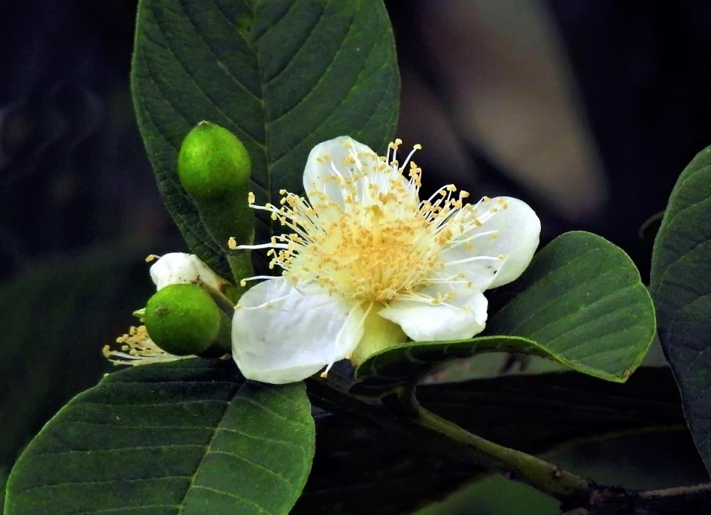 goyave  (une devinette facile ! trop facile et vite trouvée !) Fleurm10