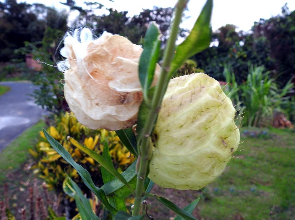 """""""ti-Ouete"""" - gomphocarpus physocarpusle (casse-tête du jour, résolu) Quizz214"""