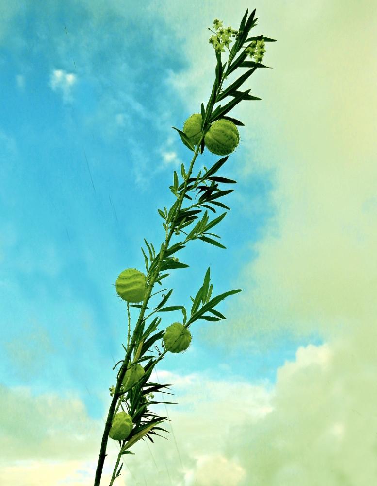 """""""ti-Ouete"""" - gomphocarpus physocarpusle (casse-tête du jour, résolu) Ti-oue10"""