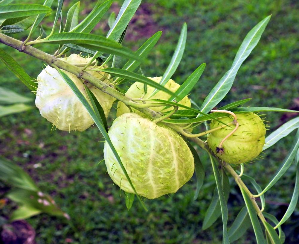 """""""ti-Ouete"""" - gomphocarpus physocarpusle (casse-tête du jour, résolu) Ti-oue11"""