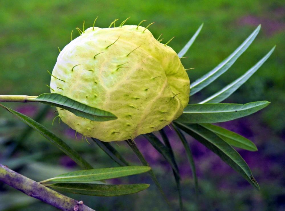 """""""ti-Ouete"""" - gomphocarpus physocarpusle (casse-tête du jour, résolu) Ti-oue12"""