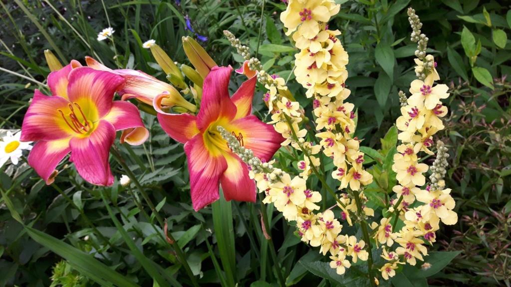 Que planter dans un jardin d'hémérocalles? 41424810