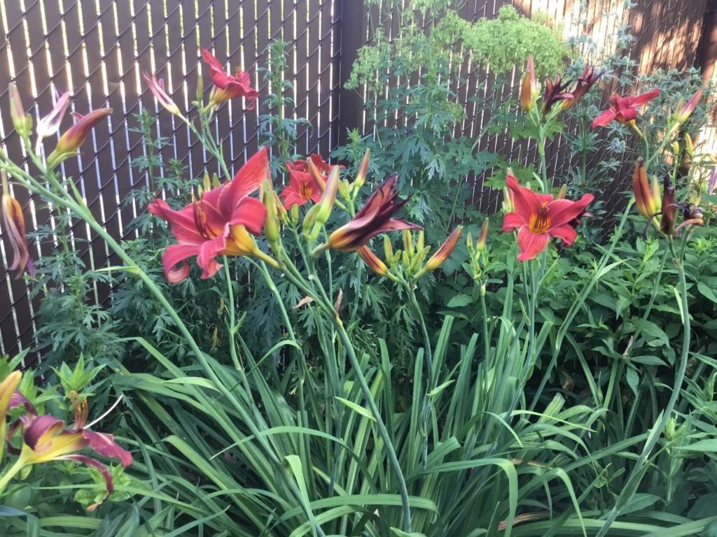 Que planter dans un jardin d'hémérocalles? B4187410