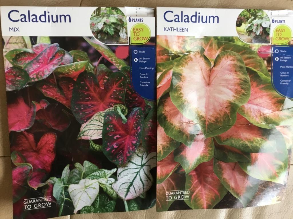 Caladium et autres bulbes ou rhizomes F6f12710