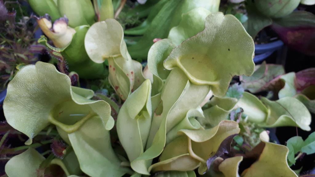 Sarracenia purpurea 2019 Spb02_11