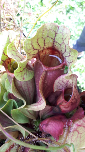 Sarracenia purpurea 2019 Spb03_11