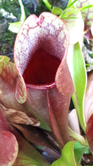 Sarracenia purpurea 2019 Spr01_10