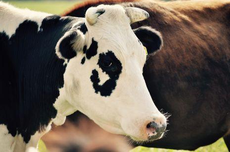 تفسير حلم ذبح البقرة أو العجل وسلخه في المنام لابن سيرين Cow-4610