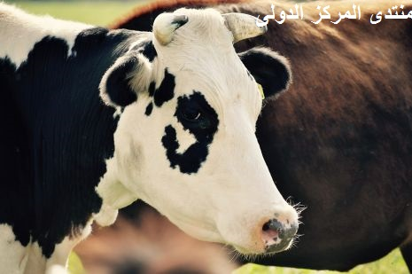تفسير حلم ذبح البقرة أو العجل وسلخه في المنام لابن سيرين Cow-4611