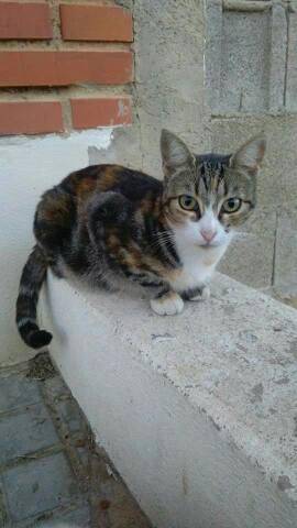 Gatita Tricolor cariñosa casi ciega busca hogar responsable. Chiva-Valencia. Tricol10