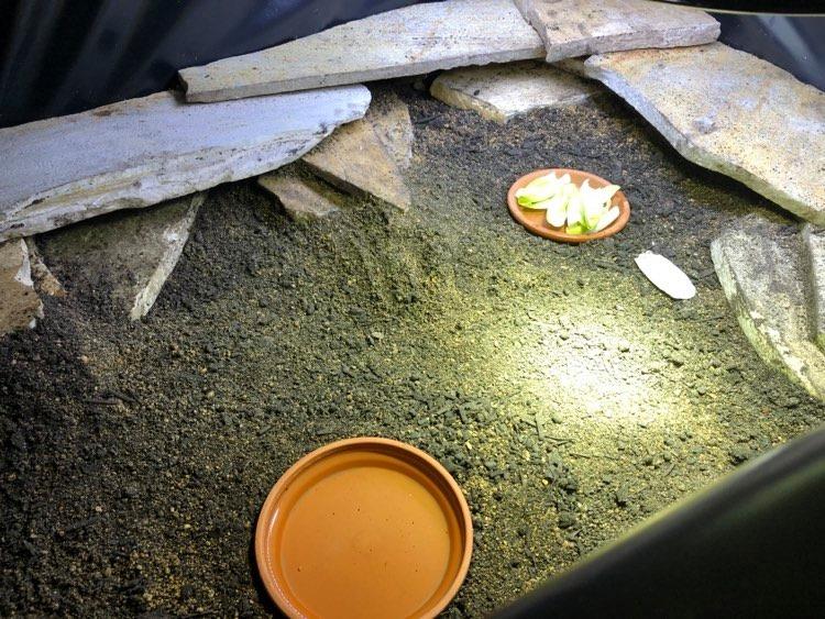 Malacocherus tornieri de Bébert81 11861410