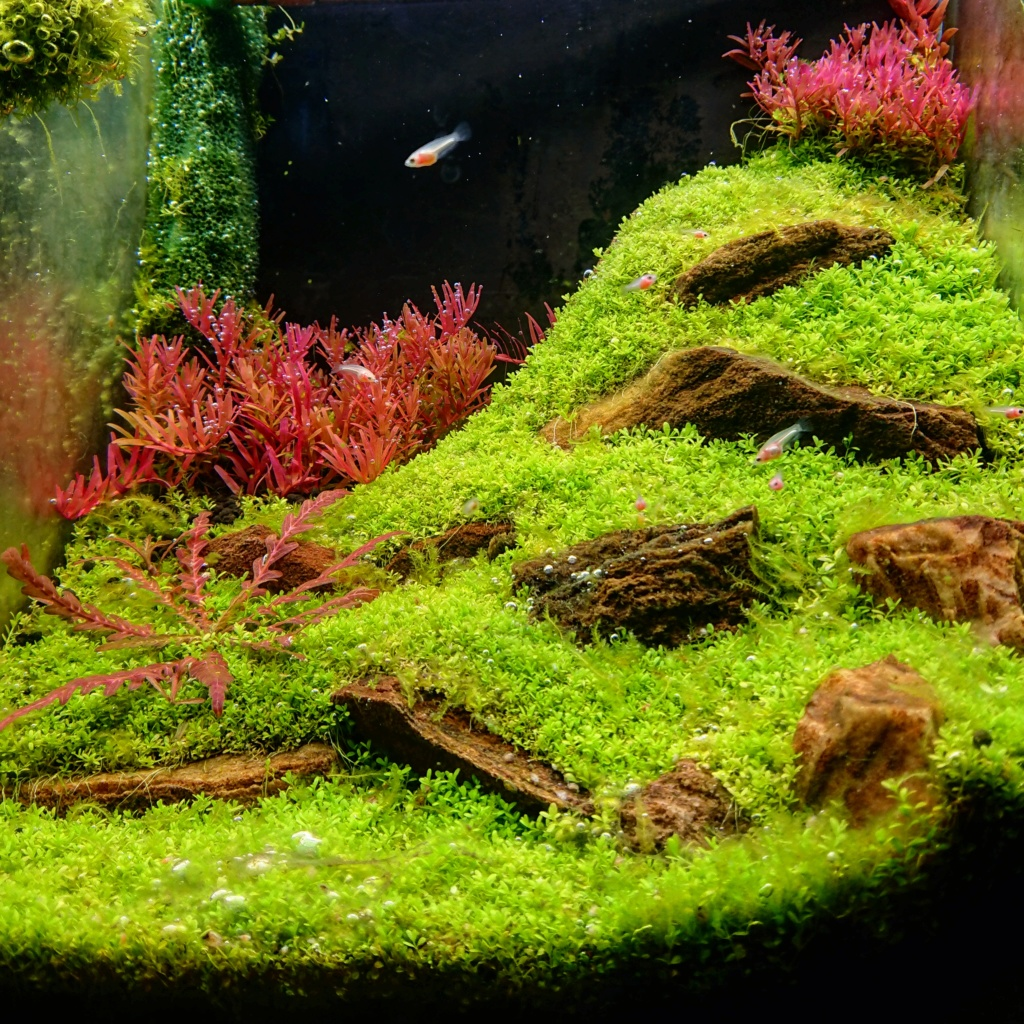 L'oasis (optiwhite 20 L planté) - Page 3 Img_2012