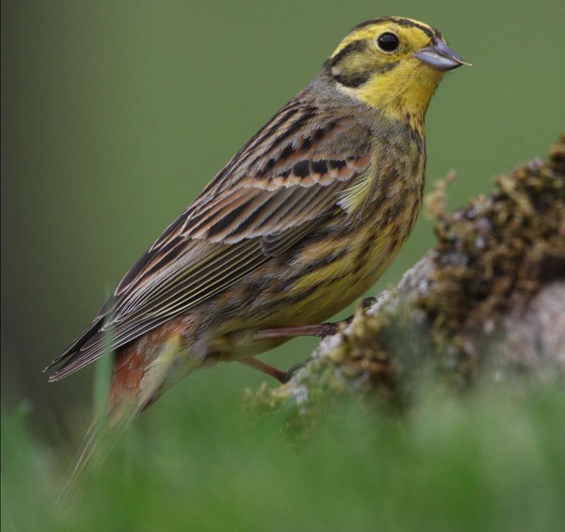 Passeriformes - Chapim e Escrevedeira Imagem10