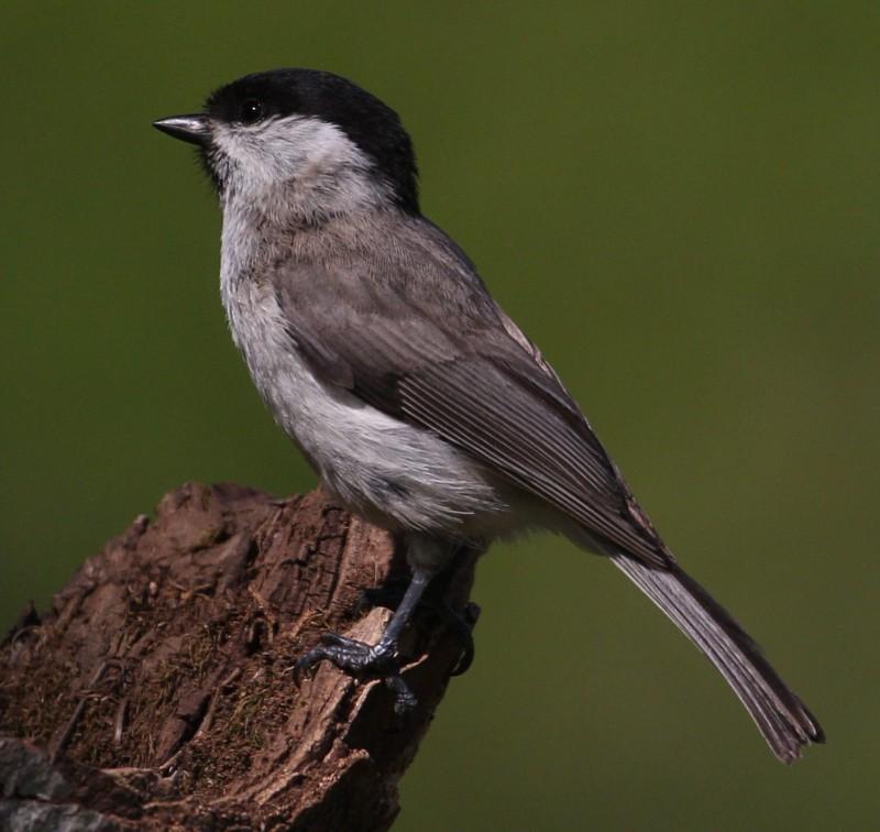 Passeriformes - Chapim e Escrevedeira Imagem11