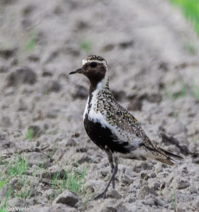 Fórum Aves - Birdwatching em Portugal - Portal _v185010