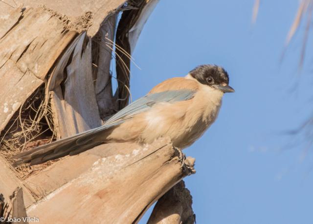 Fórum Aves - Birdwatching em Portugal - Portal _v185610