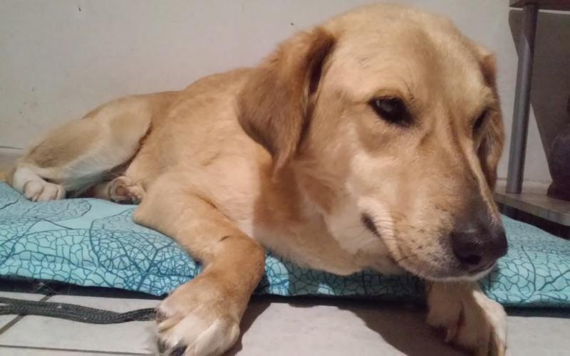 SHYVA - femelle croisée Labrador de taille moyenne à grande, née environ en février 2014 - (Pascani) adoptée par Aurélie (Belgique) - DECEDEE - Page 5 20181118