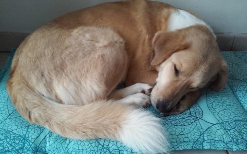 SHYVA - femelle croisée Labrador de taille moyenne à grande, née environ en février 2014 - (Pascani) adoptée par Aurélie (Belgique) - DECEDEE - Page 5 20181119