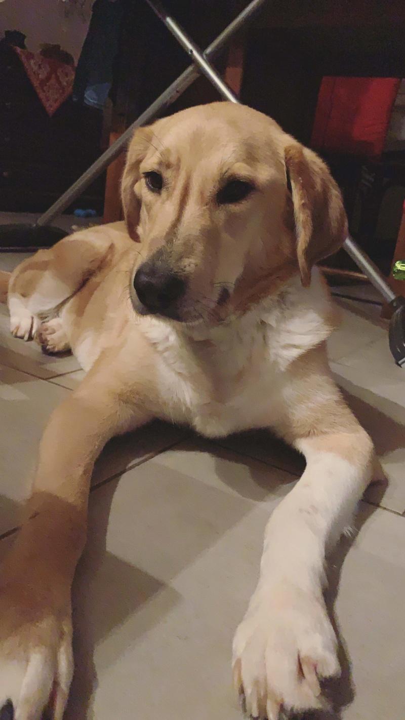 SHYVA - femelle croisée Labrador de taille moyenne à grande, née environ en février 2014 - (Pascani) adoptée par Aurélie (Belgique) - DECEDEE - Page 6 Receiv32
