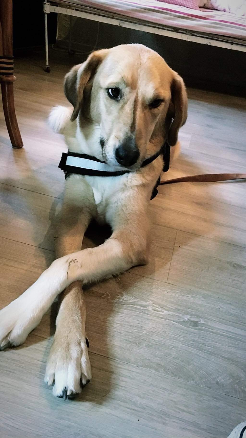 SHYVA - femelle croisée Labrador de taille moyenne à grande, née environ en février 2014 - (Pascani) adoptée par Aurélie (Belgique) - DECEDEE - Page 6 Receiv46