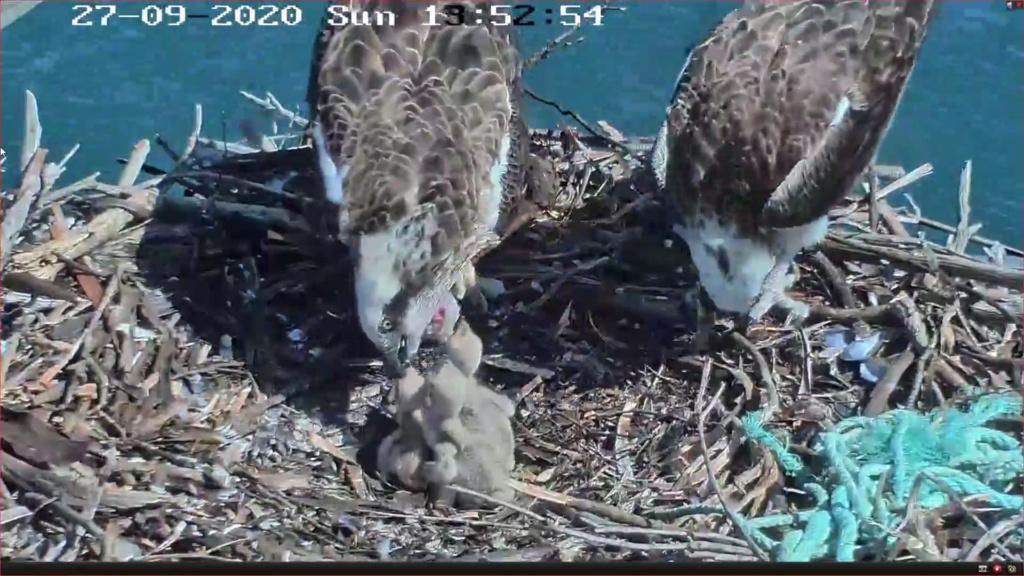Port_Lincoln Osprey Live Stream 2020/2021 - Pagina 4 Screen28