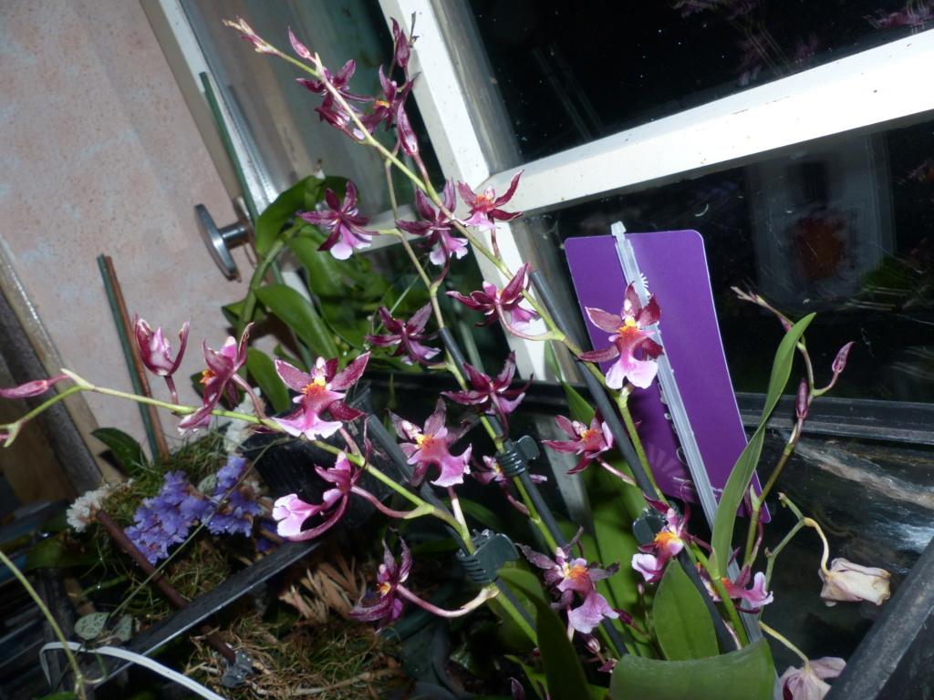Les orchidées - Page 35 P1040858
