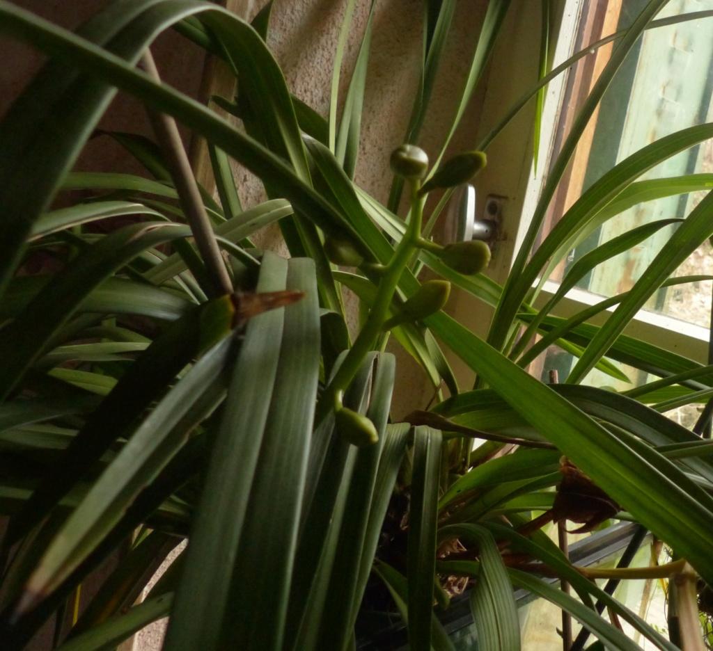 Les orchidées - Page 35 P1050172