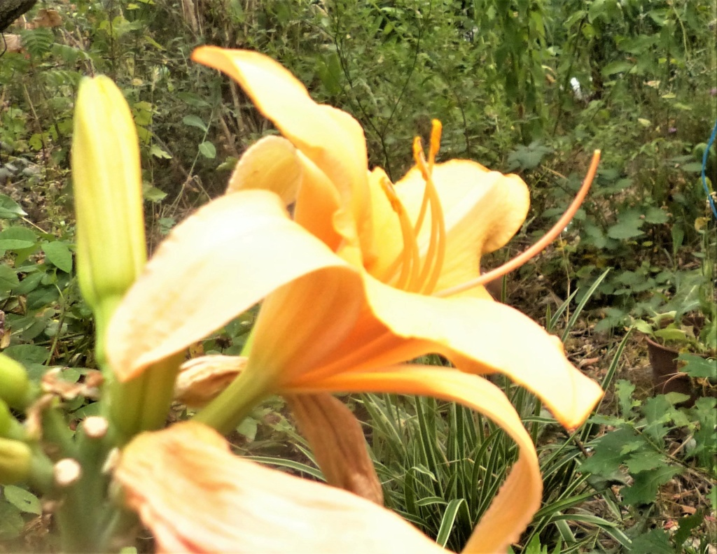 Hemerocalle,Hemerocallis - Page 20 P1060719