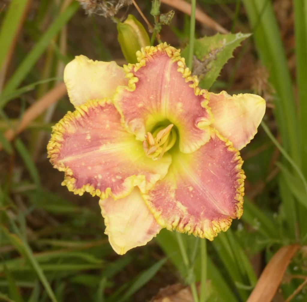Hemerocalle,Hemerocallis - Page 20 P1060731