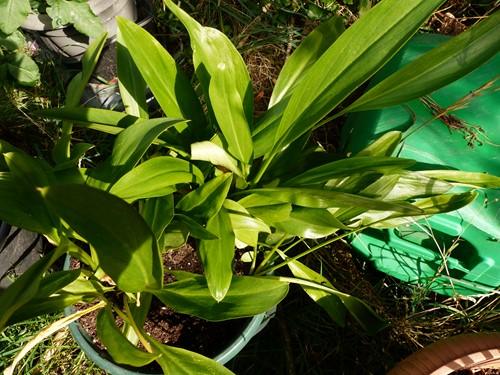 plante mysthére  P1060848