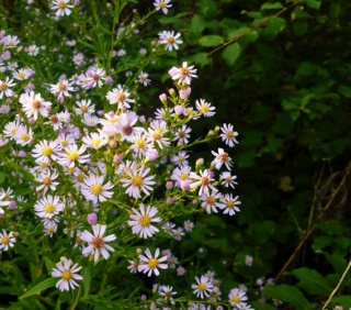 Aster d'automne  - Page 23 P1070048