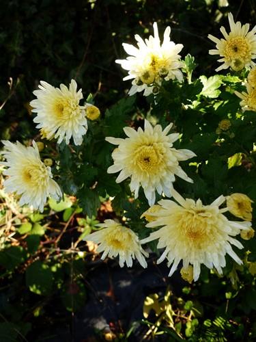 Chrysanthème - Page 9 P1070146